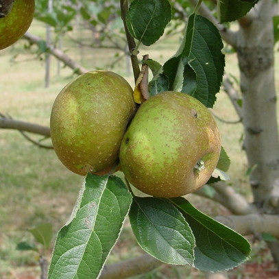 Roxbury Russet Apple Tree (Malus cv.)