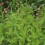 Salad Burnet (<i>Sanguisorba minor</i>)