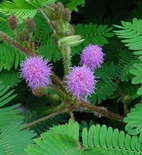 Sensitive Plant Seeds (<i>Mimosa pudica</i>)
