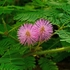Sensitive Plant Seeds (Mimosa pudica)