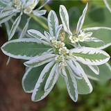 Snow-on-the-Mountain Seeds (<I>Euphorbia marginata</I>)