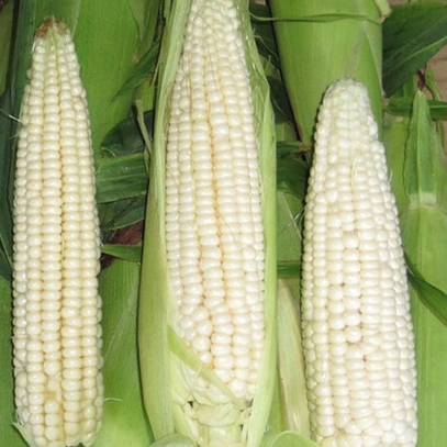 Stowell's Evergreen White Corn Seeds (Zea mays variety)