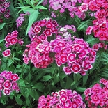 Sweet William (<i>Dianthus barbatus</i>)