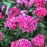 Sweet William Seeds (<i>Dianthus barbatus</i>)