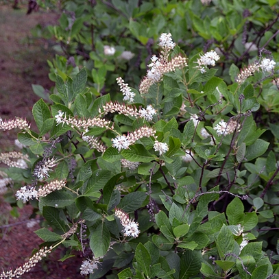 Sweetpepper Bush; Summersweet (Clethra alnifolia)