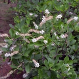 Sweetpepper Bush; Summersweet (<i>Clethra alnifolia</i>)