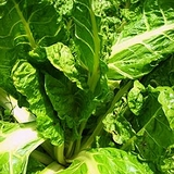 "Swiss Chard ""Mixed Colors"" (<i>Beta vulgaris</i> subsp. <i>cicla</i>)"