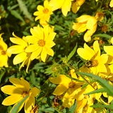 Tickseed Sunflower (<i>Bidens aristosa</i>)