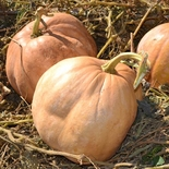 Upper Ground Sweet Potato Squash Seeds (<i>Cucurbita moschata</i> cv.)