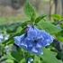 Virginia Bluebells (Mertensia virginica)