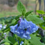 Virginia Bluebells (<i>Mertensia virginica</i>)