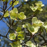 White Flowering Dogwood (<i>Cornus florida</i>)