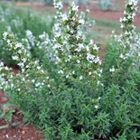Winter Savory (<i>Satureja montana</i>)