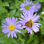 Wonder of Staffa Aster (<i>Aster x  frikartii</i> cv.)