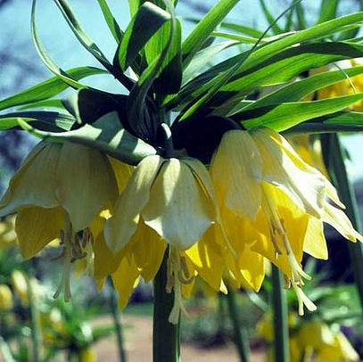 Yellow Crown Imperial Lily (Fritillaria imperialis 'Lutea Maxima')