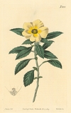 Curtis 1820 Antique Botanical Engraving of the Venice - Mallow - Flowered Turnera