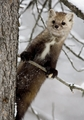 American Marten in A Pine Tree Holiday Cards