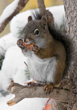 American Red Squirrel Holiday Cards