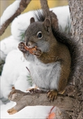 American Red Squirrel Christmas Cards