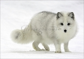 Arctic Fox Christmas Cards