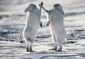 Arctic Hares Holiday Cards