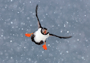 Atlantic Puffin Holiday Cards