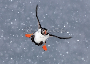 Atlantic Puffin Christmas Cards