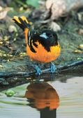 Baltimore Oriole Notecard
