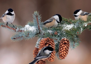 Black-Capped Chickadees Christmas Cards