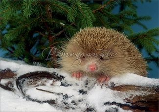 Blonde Hedgehog on Snowy Log Christmas Cards