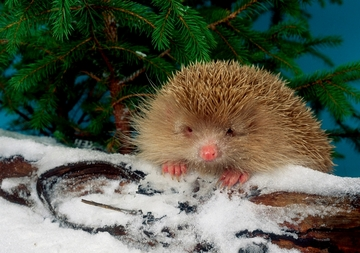Blonde Hedgehog on Snowy Log Holiday Cards