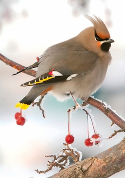 Bohemian Waxwing Holiday Cards