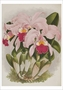 Cattleya Warneri Birthday Card