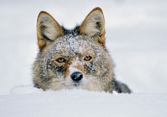 Coyote in Winter Snow Holiday Cards