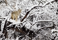 Coyote on Snow-Covered Tree Holiday Cards