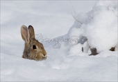 Eastern Cottontail Rabbit Christmas Cards