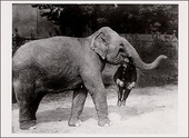 Elephant Holds Man Postcard