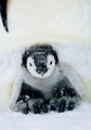 Emperor Penguin Chick Holiday Cards