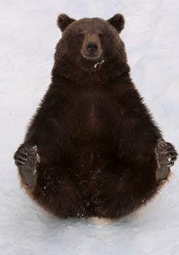 Eurasian Brown Bear with Cold Feet Holiday Cards