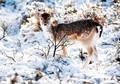 Fallow Deer in Snow Holiday Cards
