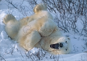 Frolicking Male Polar Bear Christmas Cards