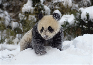 Giant Panda Cub Playing in the Snow Christmas Cards