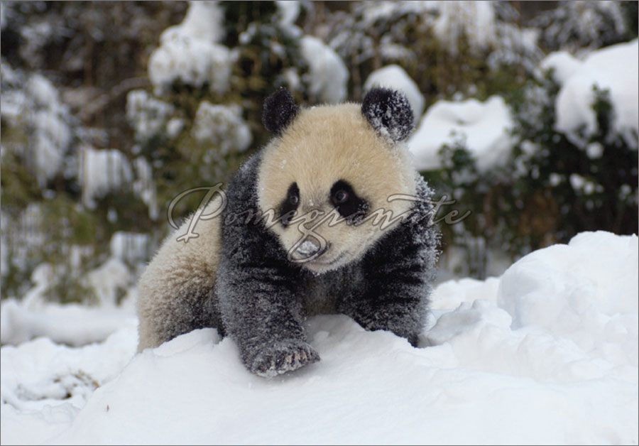 Panda cubs playing in snow - photo#2