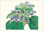 Gloxinia Small Boxed Cards