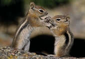 Golden-Mantled Ground Squirrels Notecard