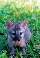 Gray Fox Pup Notecard