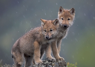Gray Wolf Pups Christmas Cards