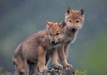 Gray Wolf Pups Holiday Cards