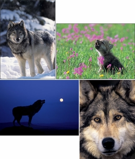 Gray Wolves Boxed Notecards