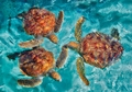 Green Sea Turtles Notecard